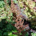 astilbe-plant-dying