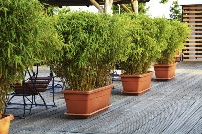 Growing Bamboo In Pots Can Be Grown Containers