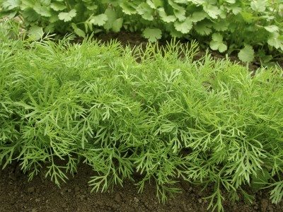 Getting bushy herb plants: how to trim a dill plant