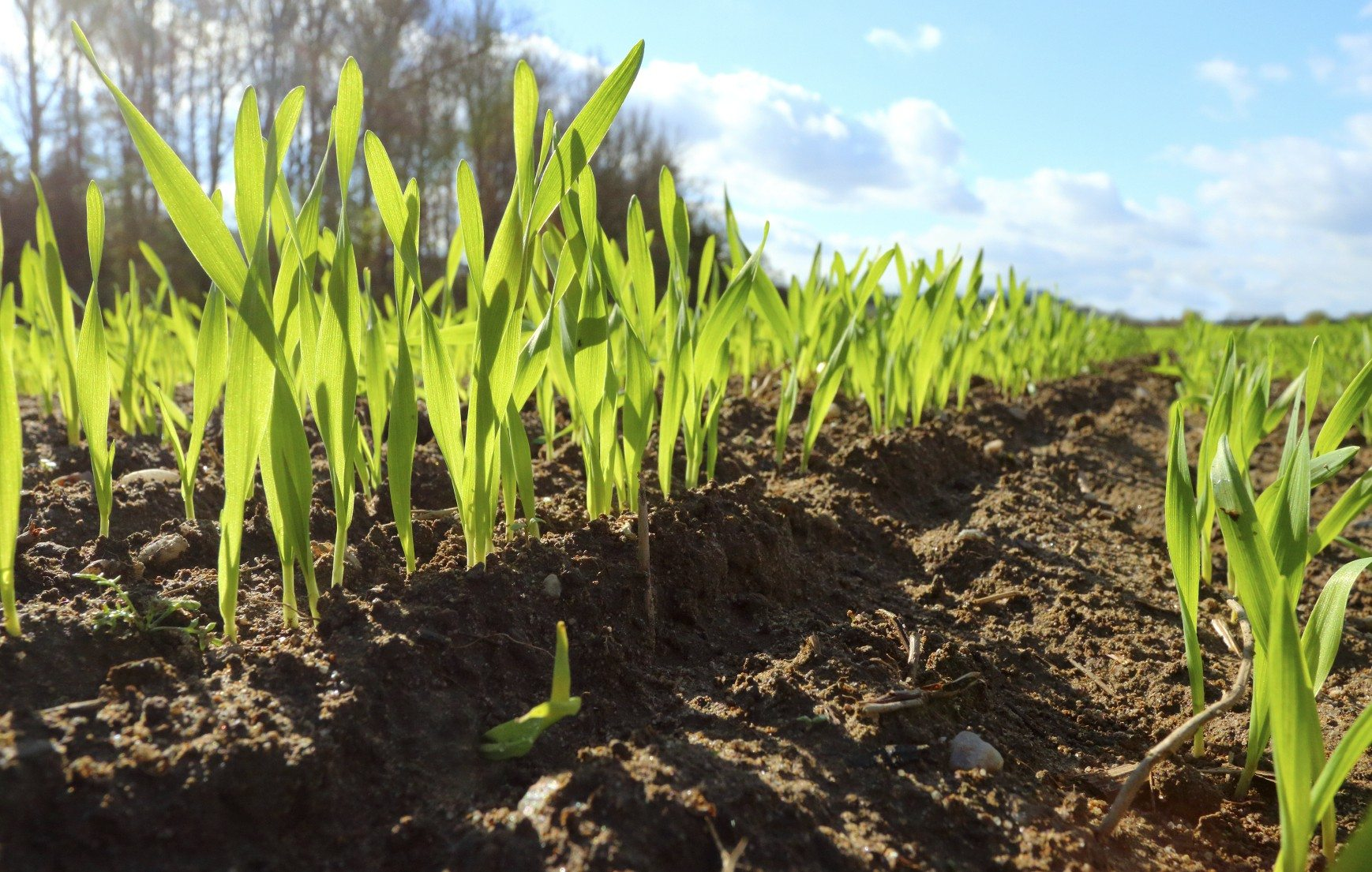 Using Cover Crops To Improve Clay Soil