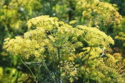 plantation of flowering dill herb in summer garden