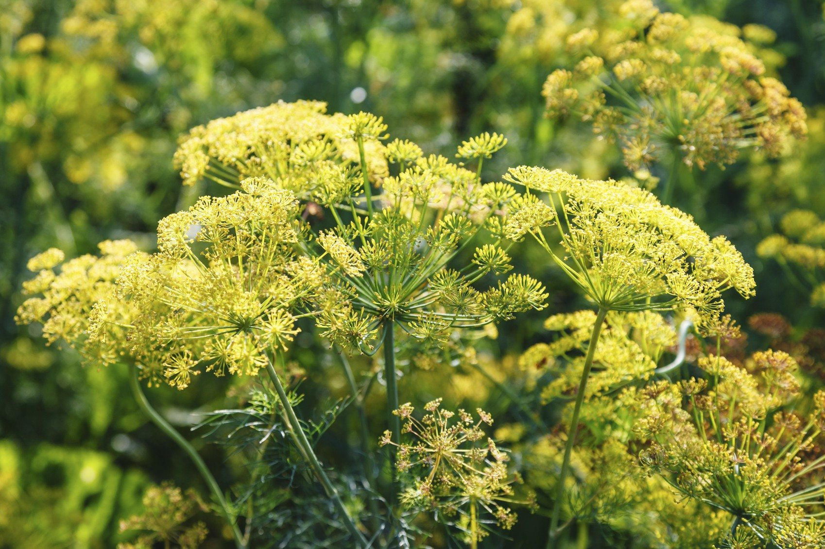 My Dill Plant Is Flowering Information About Flowering In Dill Plants