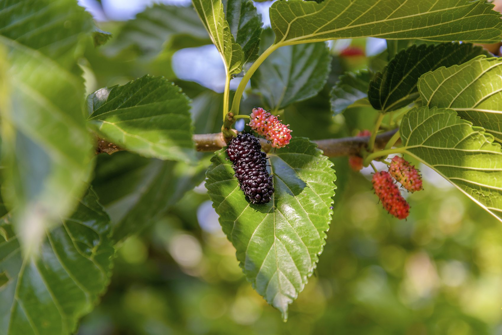 Growing Mulberries In Containers Learn About The Care Of