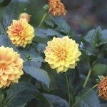 faded dahlias