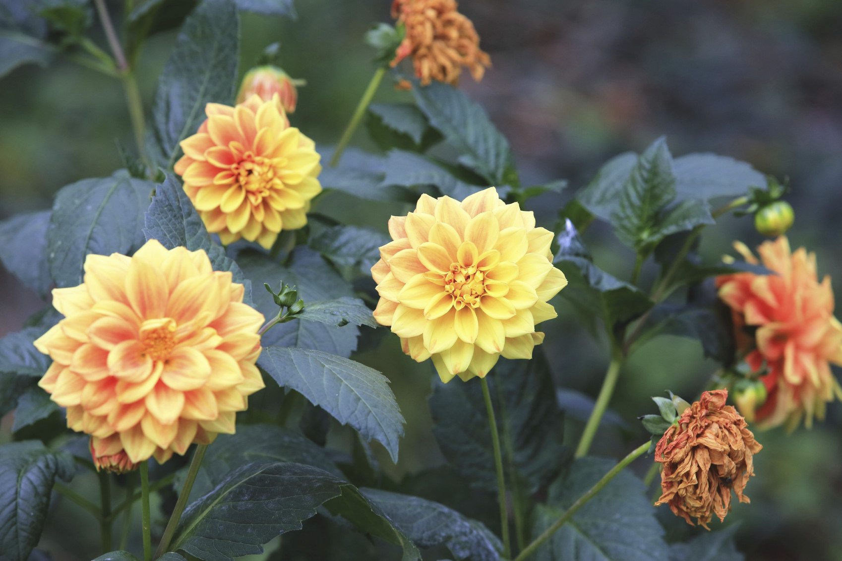 Facts On Dahlia Flower Seeds How To Plant Dahlia Seeds