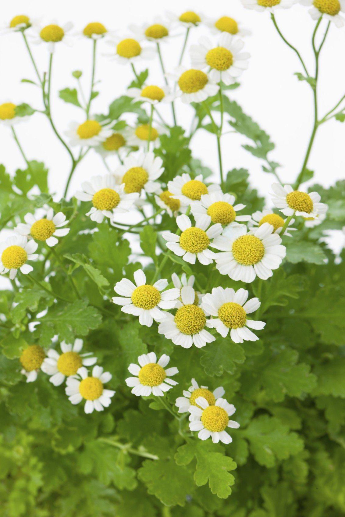 Feverfew Plant Harvesting Learn When To Harvest Feverfew Leaves