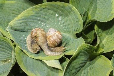 two big snails on a green hosta leafs
