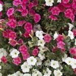 white and pink petunias, bush