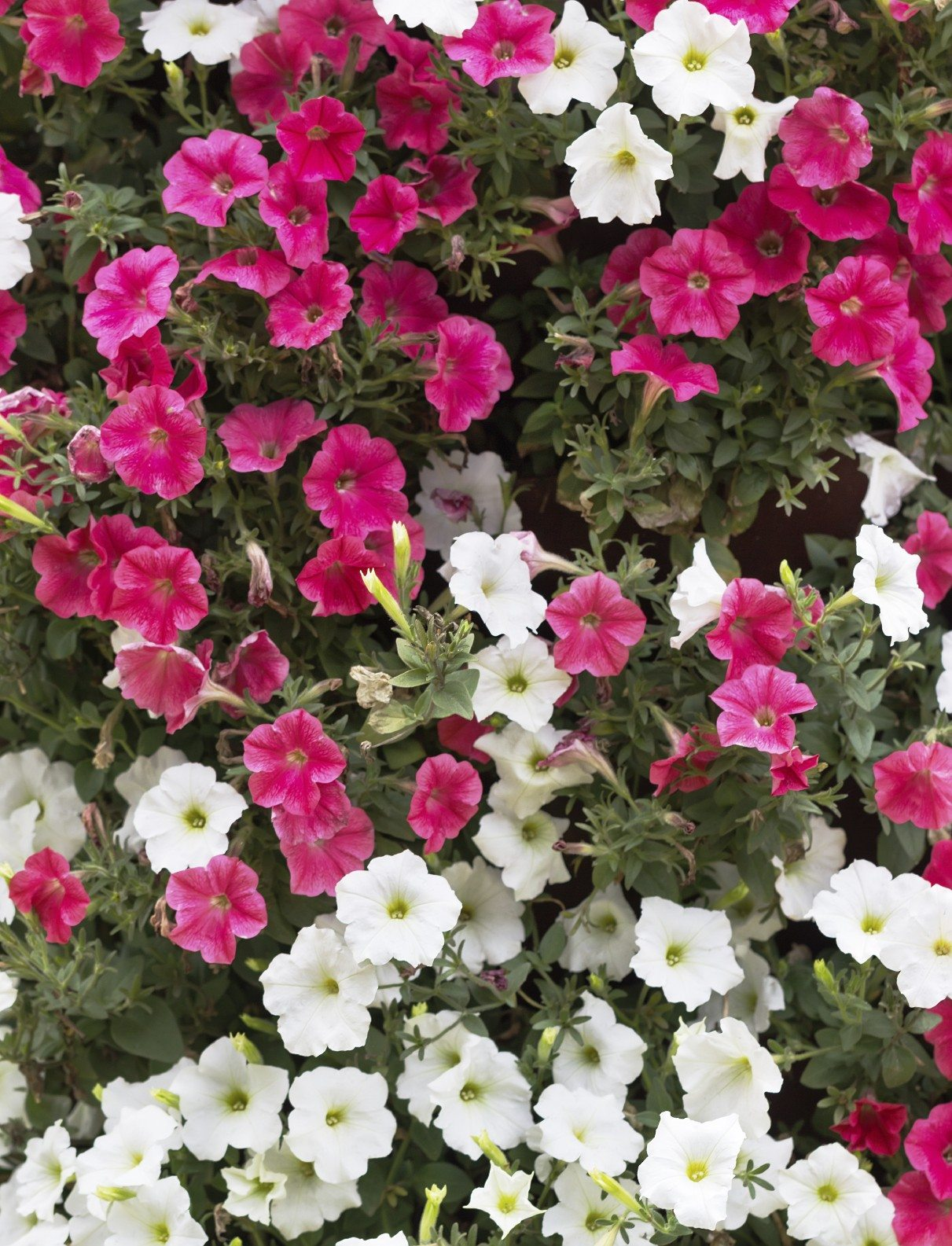 Different Types of Petunias Learn About The Varieties Petunias