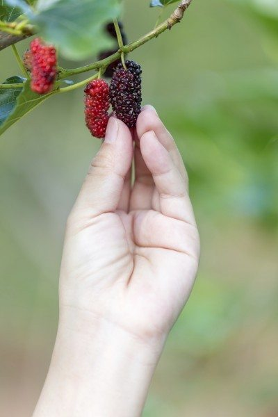 Hand reach decidedly mulberry from the tree in garden
