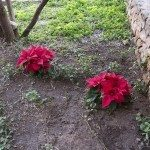 Red poinsettia flowers in winter flowerbed in Ibiza, Balearic islands, Spain in December.