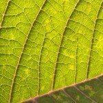 Macro shot of a poinsettia leaf.