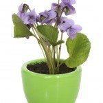 Sweet violet (Viola odorata) in pot on white background