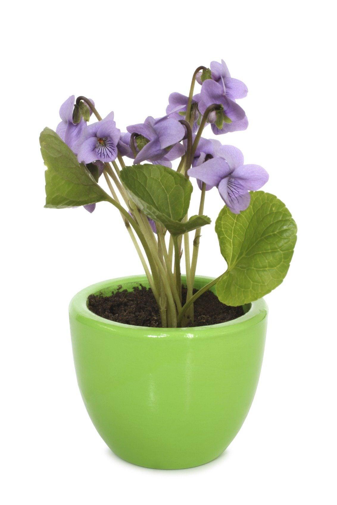 caring for violets indoors