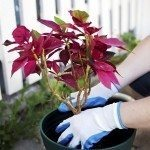 A poinsettia plant being repotted.