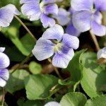 Close-up view of wild violets blooming in the spriing.