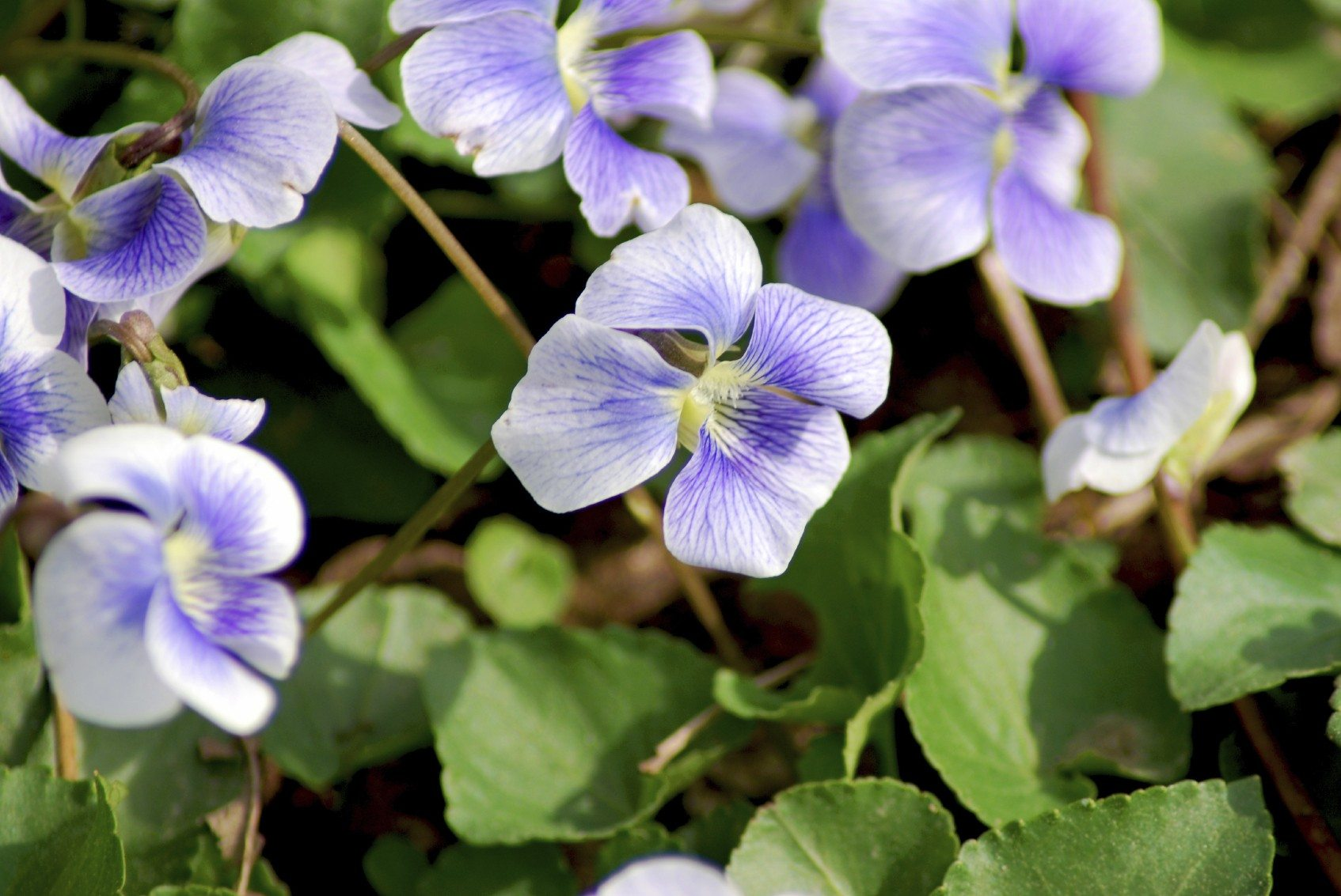 Garden violet: types, description, planting and care 95