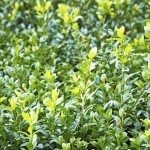 green wet foliage of buxus bush after rain