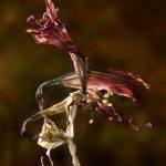 withered amaryllis bloom