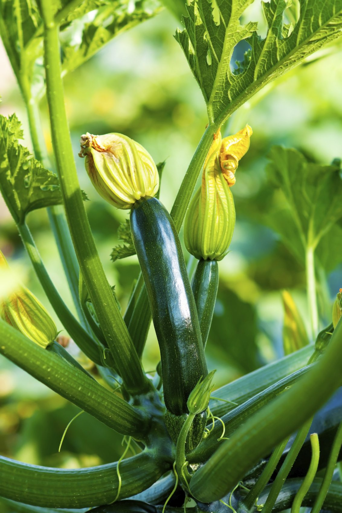 Zucchini Plant Images