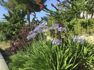 Companion planting with agapanthus: good companion plants for agapanthus