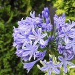 Agapanthus flowers. The flower of summer which attached the petal and the bud.