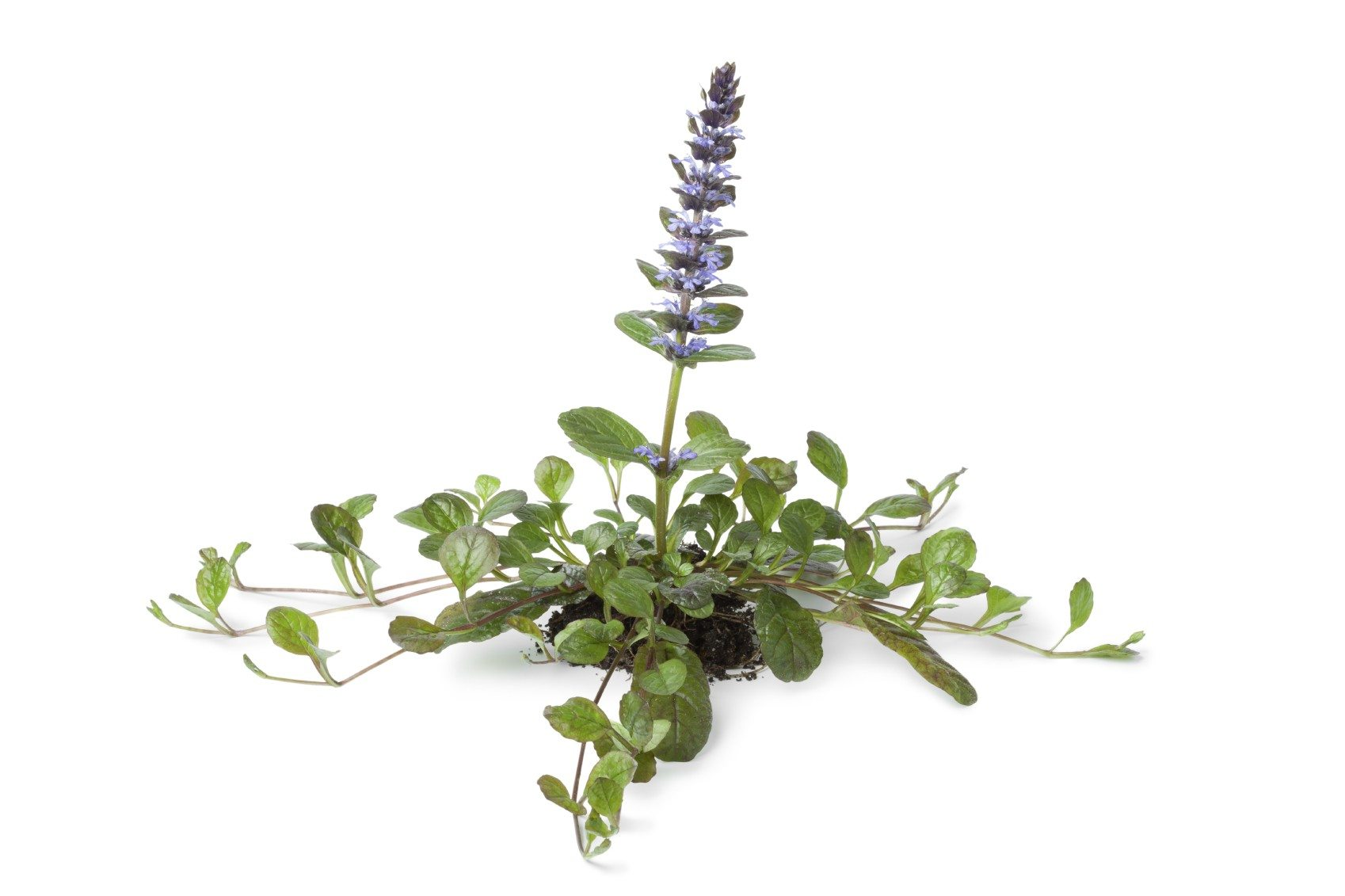 Ajuga Plant Propagation Learn About The Propagation Of Ajuga