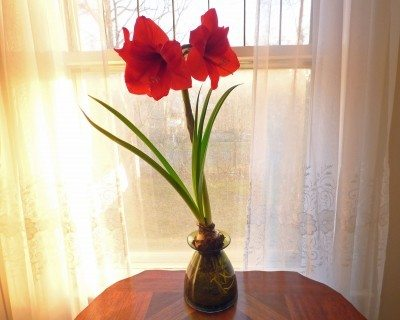 amaryllis in water