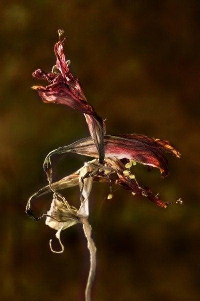 amaryllis seed