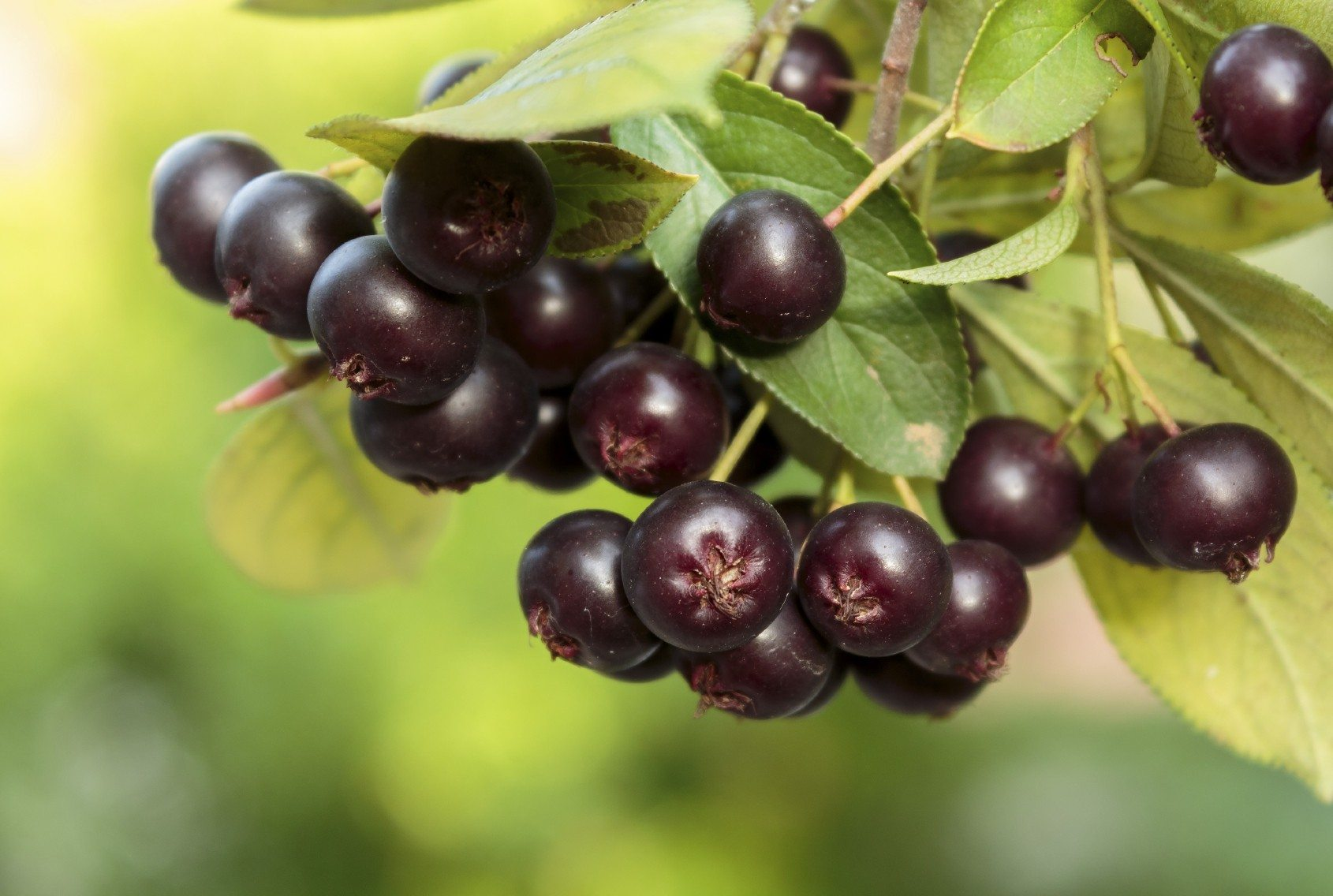 uses for aronia berries