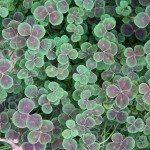bronze dutch clover