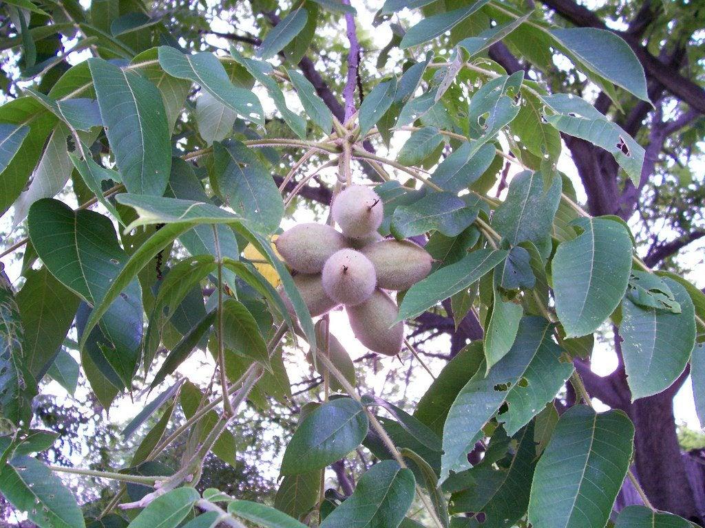 how to grow a walnut tree from a walnut