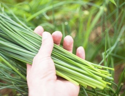 Chive in woman hand