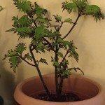 coleus-container-plant