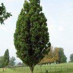 columnar oak