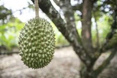 Fresh durian on durian tree