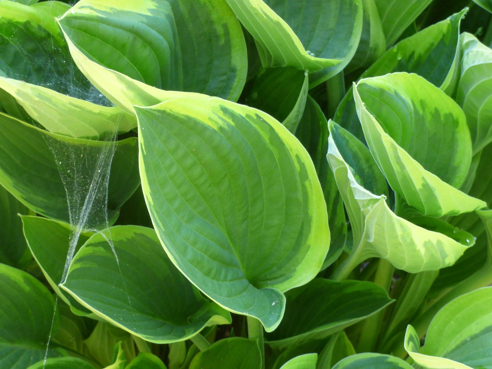 Different types of hostas learn about common varieties of hosta for A gardener is planting two types of trees