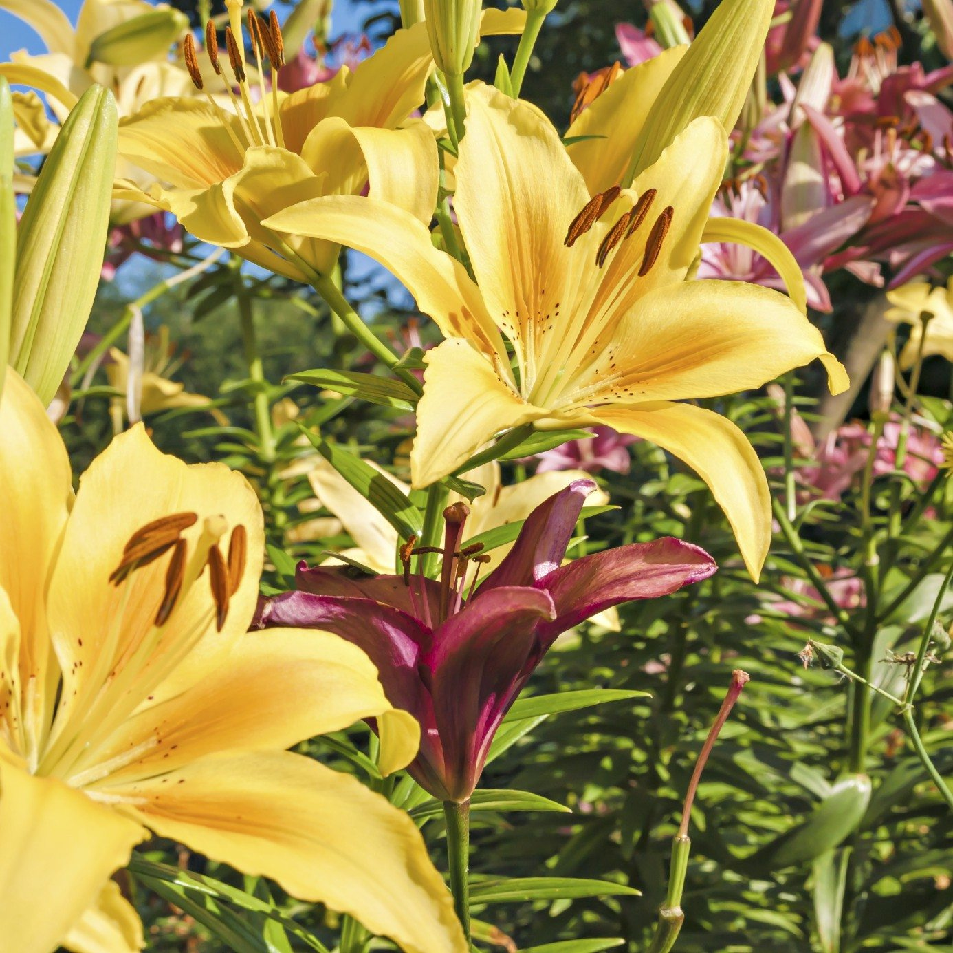 Common lily varieties types of lilies and when they bloom izmirmasajfo