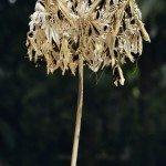 prune agapanthus