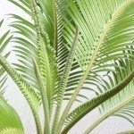 Isolated cycas leafes, white