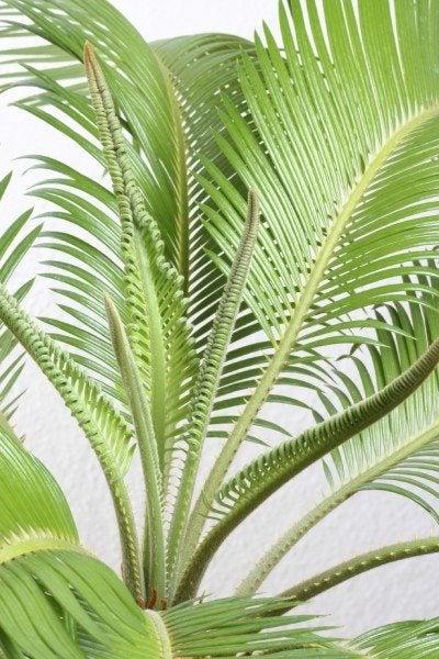 Sago Palm Troubleshooting Sago Palm Has No New Leaves