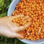 The crop of sea-buckthorn berries in the bucket