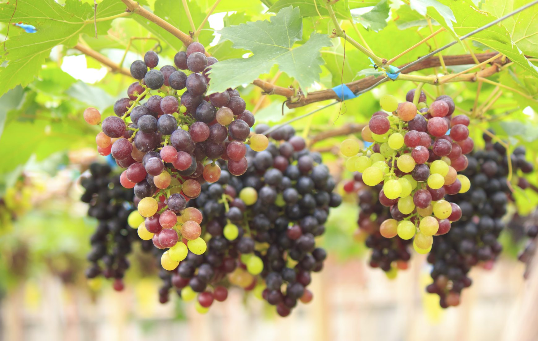 The gallery for planting grape seeds - Seedless grape cultivars ...