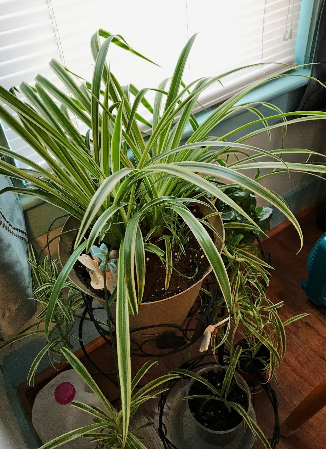 No Babies On Spider Plant Why Is My Spider Plant Not Producing Babies