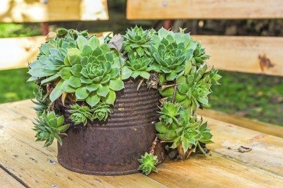 Succulent plant is growing in rusty metal can, Houseleek plant