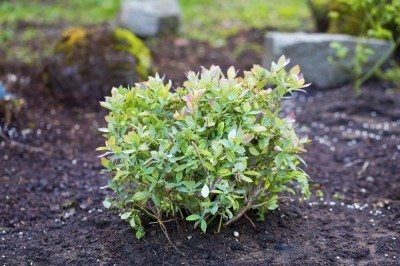 Can You Transplant Blueberries Tips For Transplanting Blueberry Bushes