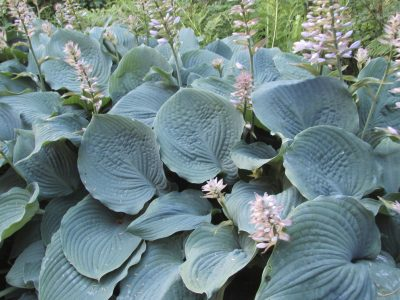 Plants with blue foliage: learn about plants that have blue leaves