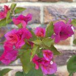 Beautiful pink bouganvillea against brick background near Brisbane in Queensland, Australia
