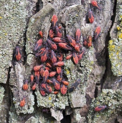 What are boxelder bugs and what do boxelder bugs look like