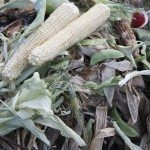 composting corn husks